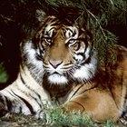 Similitudes entre leones y tigres