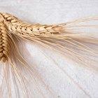 Cómo trillar y aventar a mano el trigo cosechado