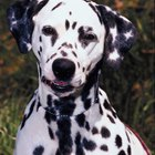 Weird & Fun Facts About Dalmatians