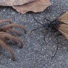 Hormigas negras con alas que pican