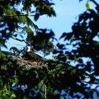 ¿Cuáles son los comportamientos de cortejo de las águilas calvas?