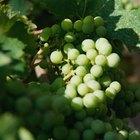 Cómo saber cuándo cortar las uvas maduras de la enredadera