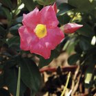 How to Grow Mandevilla From Tubers