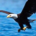Qué adaptaciones permiten que el águila calva sobreviva