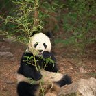 The effects of the giant panda being endangered