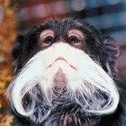 Cómo tener legalmente a un mono tití