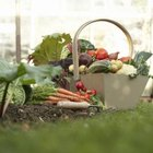 Harvest small amounts from each plant.