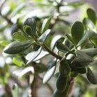 As plantas-de-jade são venenosas para os cães?