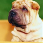 How Often Should You Wash Your Shar Pei?