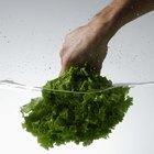 Cómo cultivar lechuga en un invernadero