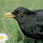 ¿Qué tipos de aves tienen picos amarillos?