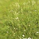 Does Ammonia Kill Grass?
