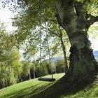 Cómo estimar el costo de la remoción de un árbol