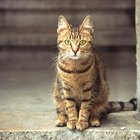 Can Cats Recover From Kidney Failure?