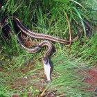Como identificar uma cobra com uma listra ao longo das costas