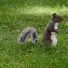 How to Keep Squirrels Off My Lawn