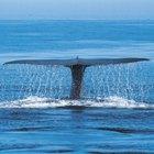 Datos sobre las adaptaciones y la supervivencia de la ballena azul