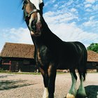 How to Maintain the Silky Feather in Clydesdales