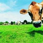 Nutrición de la carne de bisonte vs. la carne de vaca