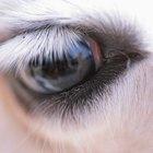 Como limpar os olhos de um cavalo