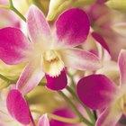 ¿Hay que cortar el tallo amarillo de las orquídeas?