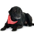 Cómo hacer un collar antipulgas natural para perros
