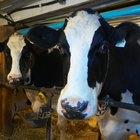 La historia de la inseminación artificial en el ganado bovino