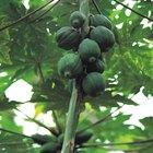 ¿Cuánto tarda un árbol de papaya en producir frutos?