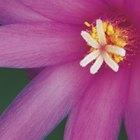 ¿Cuáles son las dos formas en que se transfiere el polen?