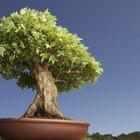 Árboles bonsái y hojas amarillas
