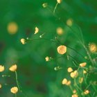Herbicides That Kill Creeping Buttercup