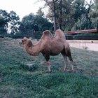 Como é feita a lã de camelo?