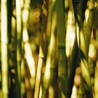 Cómo cuidar una palma de bambú interior y podar sus ramas muertas