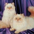 Remédio caseiro para glândulas adanais em gatos