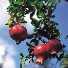 O que é necessário para as árvores de romã produzirem frutos?