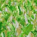 Cómo cuidar una planta de alocasia polly