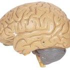 Qual parte do cérebro humano é responsável pela memória?