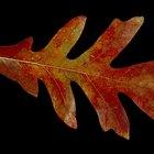 Tipos de hojas de roble