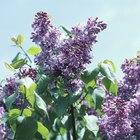 Época de plantación de las lilas