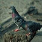Repelentes caseiros para pombas