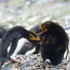 Macaroni penguin facts for kids