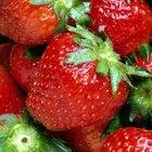 Cómo dividir y propagar fresas