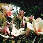 Tipos de magnolias
