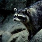 ¿De qué se asustan los mapaches?