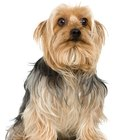 Do Silky Terriers Get Dry Skin?