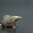 Excremento de ratas contra excremento de ratones