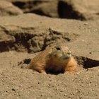 Animais que cavam buracos para ter seus filhotes