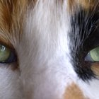 Horner's Syndrome & Dilated Pupils in Cats