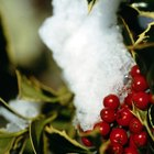 Evergreen shrubs with tiny flowers and red berries