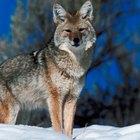 ¿Qué comen los coyotes en invierno?